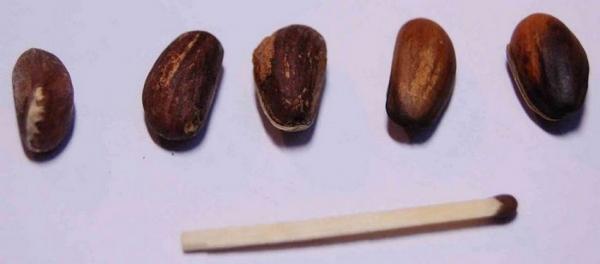 Как прорастить семена сакуры бонсай дома