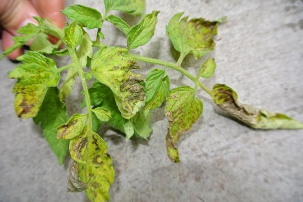 Почему скручиваются листья у помидор в открытом грунте или теплице? Что делать, если скручиваются листья у томатов?