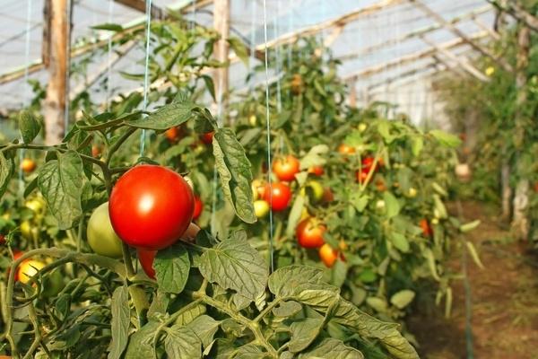 сорта помидор для теплицы самоопыляемые устойчивые